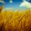 Wheat_small
